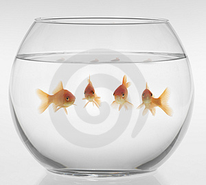 red-fish-in-an-aquarium-on-a-white-background-thumb4336371